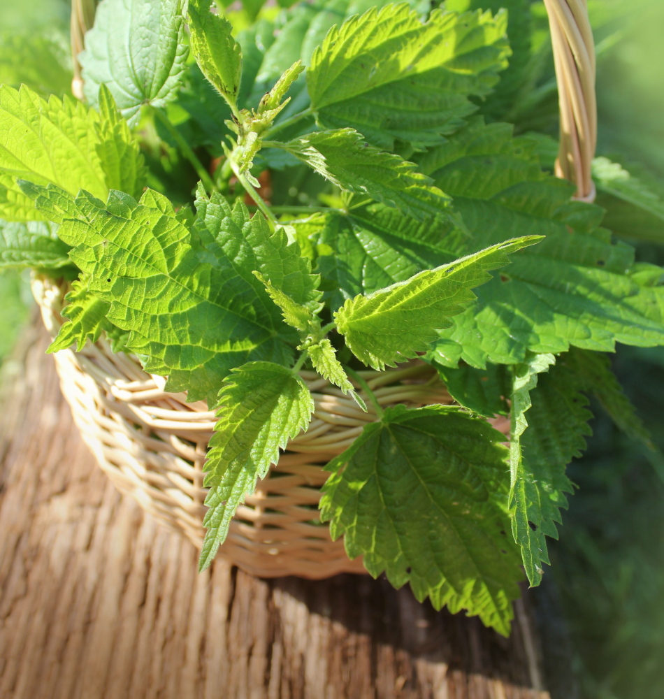 Nettles, as well as other greens, are dehydrated by the author for use in soups, stews and more during the wintertime.