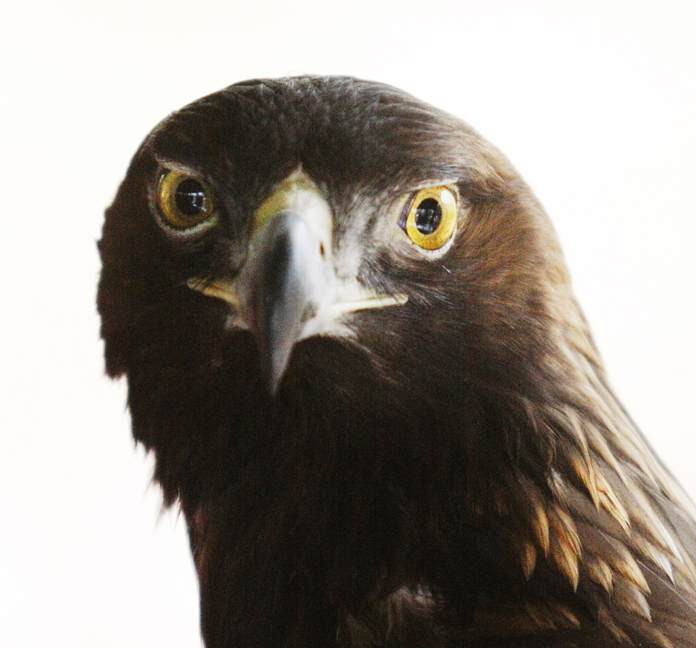 Skywalker, a 22-year-old golden eagle originally from Nebraska, had to have his right wing amputated after he was shot when he was 2 years old.