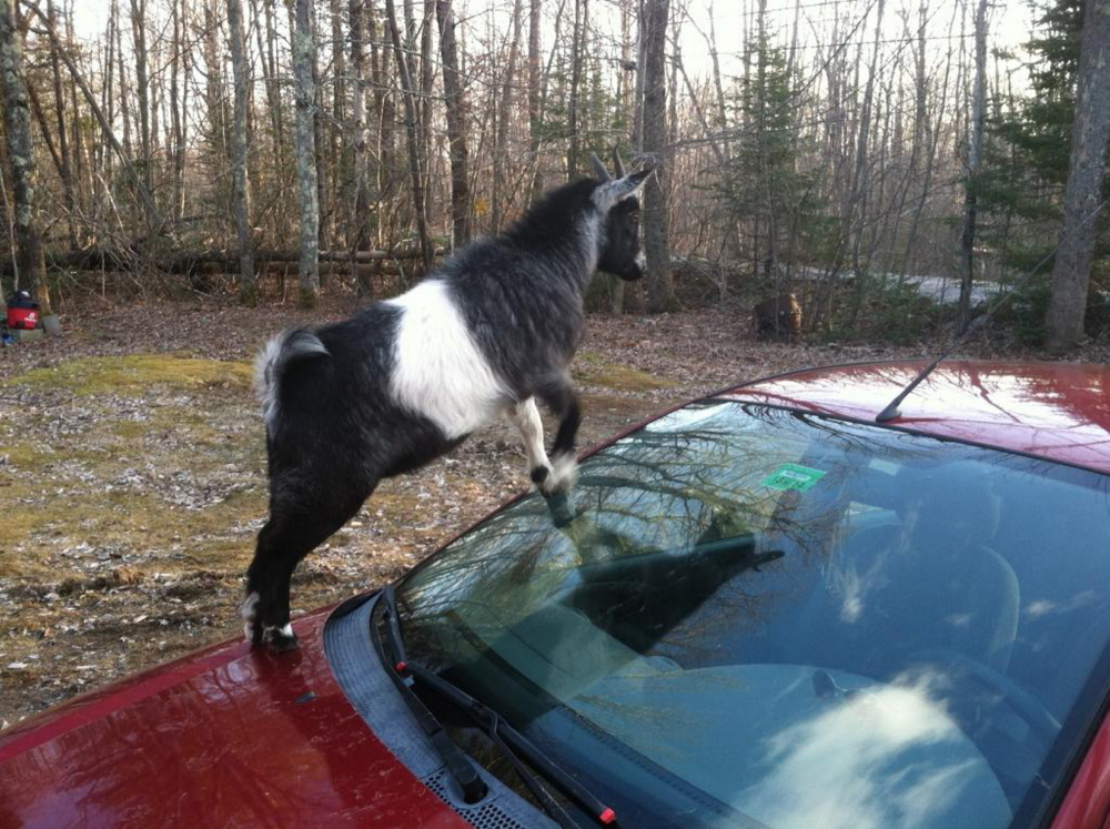 One of two goats that climbed atop a car in Richmond