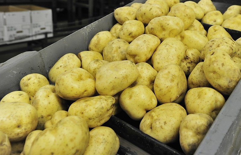 Washed white Maine potatoes tumble down a conveyor belt. Maine's largest potato processor this week reduced the price paid to growers and the number of orders.