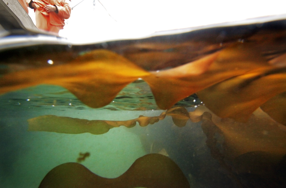 Kelp grown by Ocean Approved floats off Little Chebeague Island on Monday. The company, which has a processing facility on Presumpscot Street in Portland, said sales increased 400 percent in the past two years.