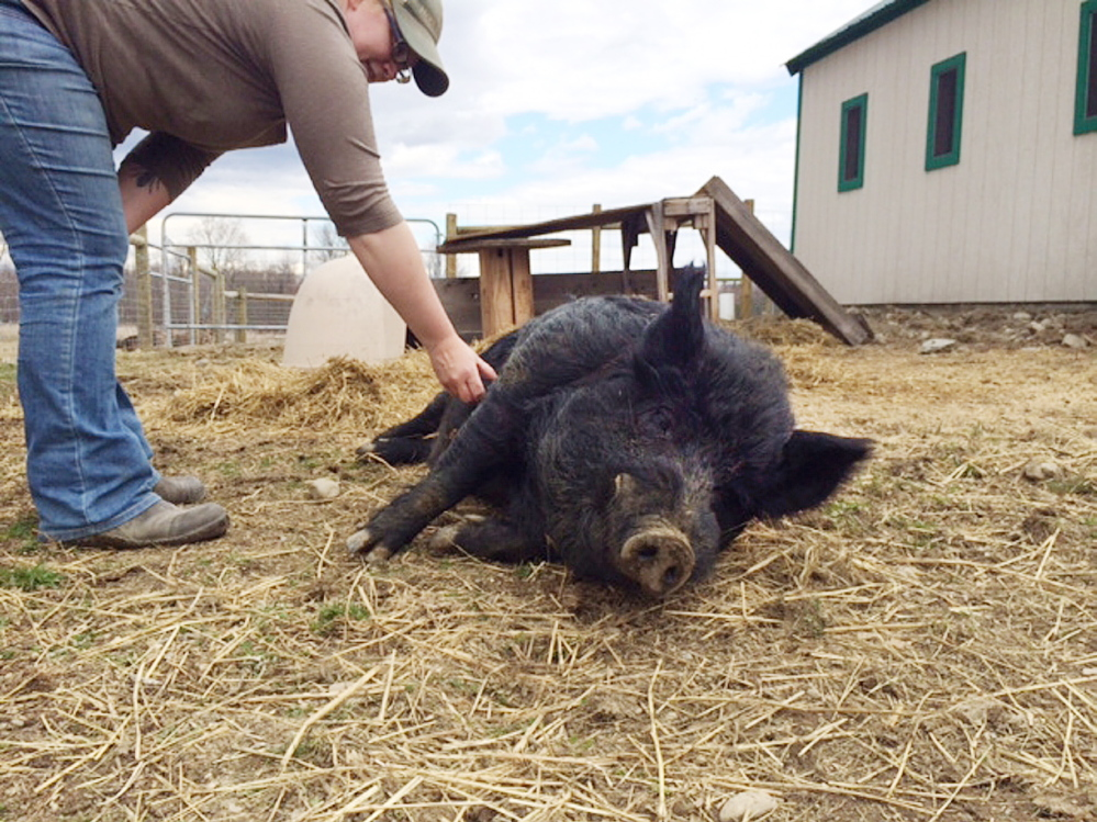 Unity College farm manager Megan Anderson scratches the belly of American guinea hog Lurch on Friday.