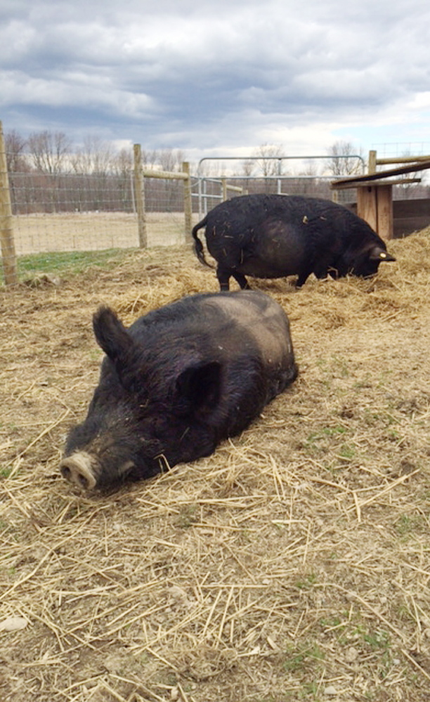 American guinea hogs Lurch, foreground, and Luna relax and forage, respectively, in their new home at Unity College in Unity on Friday.