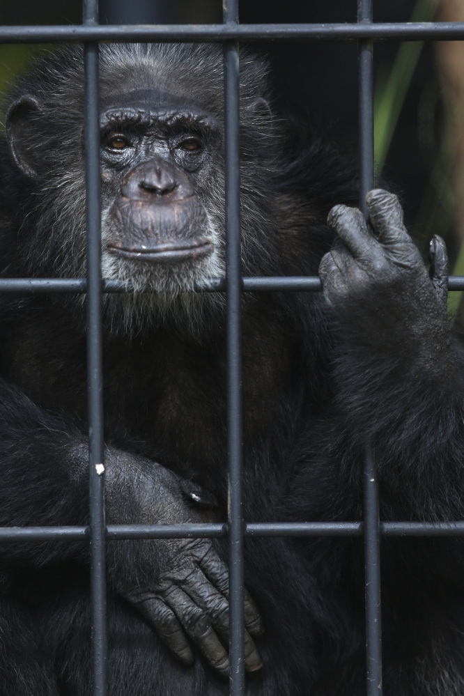 The chimpanzee population in Ivory Coast's Tai National Park has declined an estimated 90 percent over 20 years.
