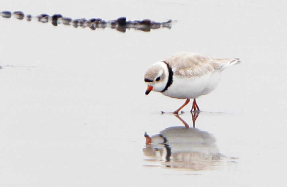 A piping plover forages along the shore of Goose Rocks Beach in Kennebunkport.