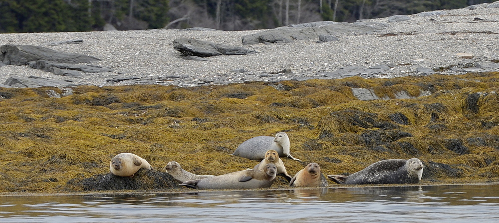 Seals find a sanctuary in the sun on a rocky ledge near West Gosling Island where conservationists hope flora and fauna may long thrive.