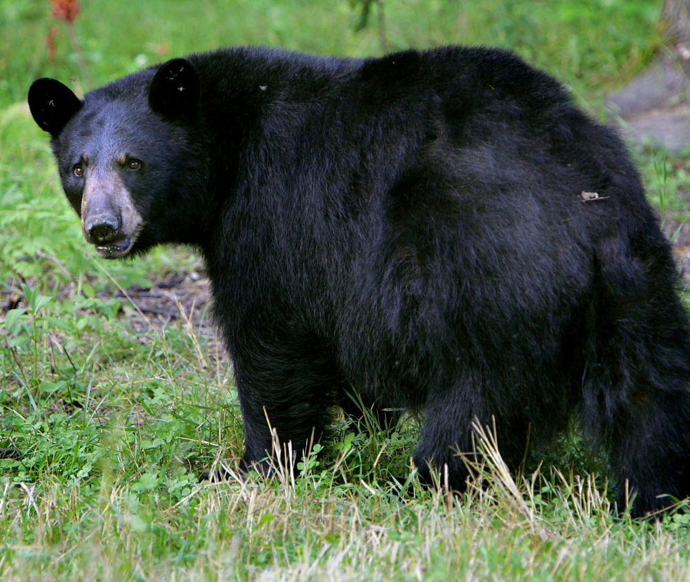 Maine officials report an unusually high number of nuisance bear complaints for this early in the year.