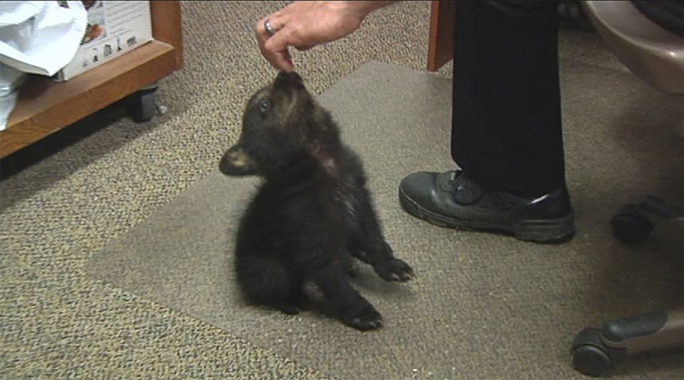 In this image from KPIC-TV video, police in Myrtle Creek, Ore., watch after a female bear cub.