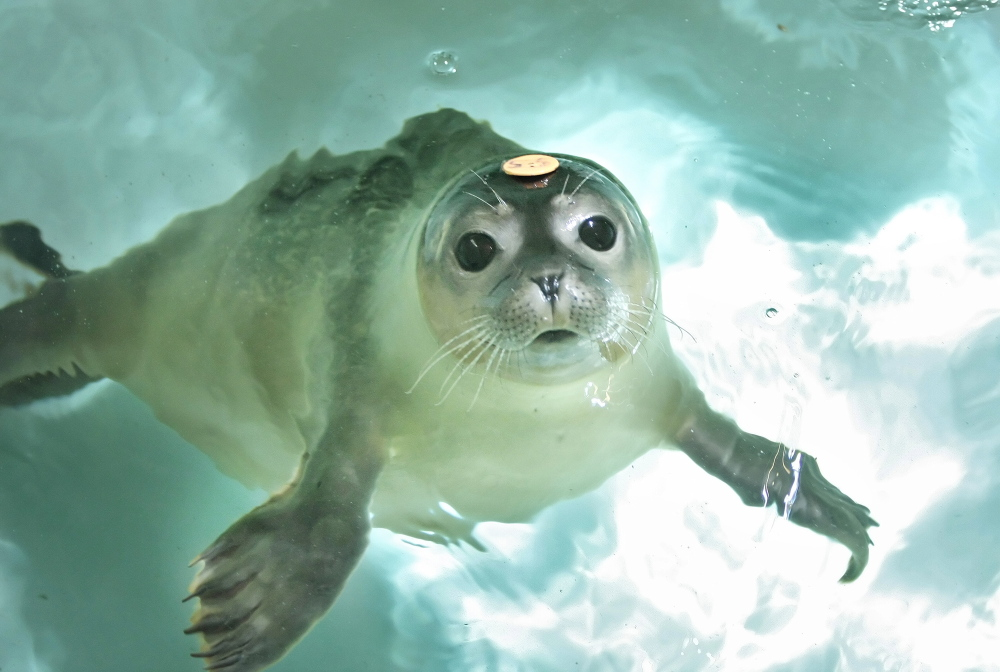 A seal pup swims in a pool at the Marine Animal Rehabilitation Center at the University of New England in Biddeford. The program is being discontinued.