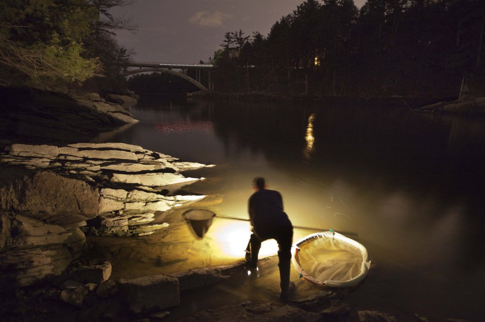 2012 Associated Press File Photo/Robert F. Bukaty A fisherman uses a lantern while dip netting fort elvers on a river in southern Maine. The catch is down 40 percent this year.