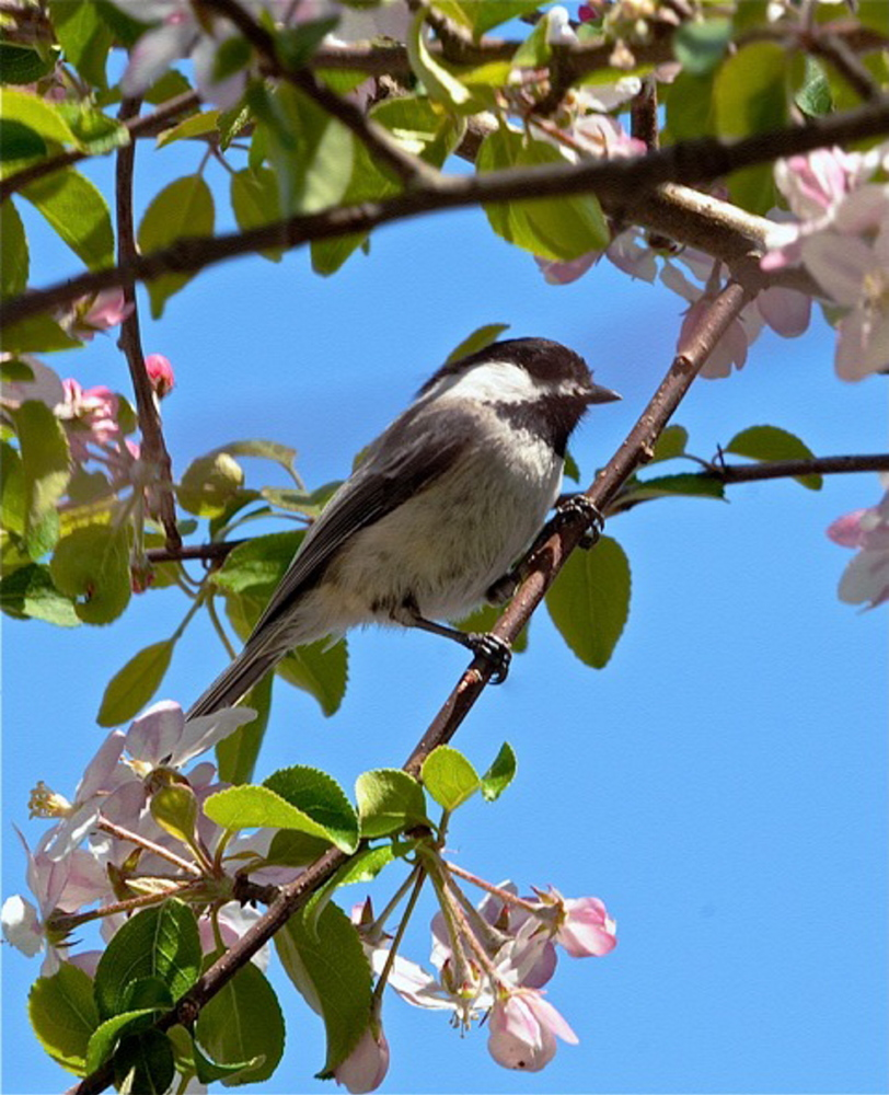 Sure looks like summer in Buzz Stultz's Belmont yard, where a chickadee perches among apple blossoms.