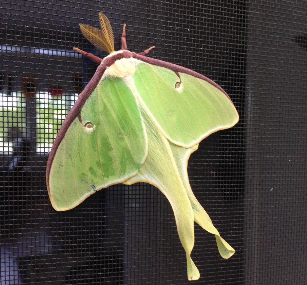 The luna moth is a pretty sight as it rests on the screen door at Diantha Grant's house in New Gloucester, and she'll be quite content if it stays there rather than coming inside and making itself at home in her woolens.