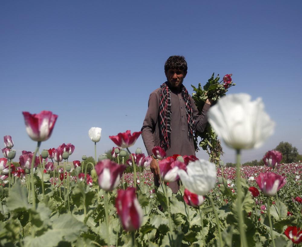 An Afghan man works on a poppy field in Jalalabad province April 17. Afghanistan is the world's top cultivator of the poppy, from which opium and heroin are produced. Reuters