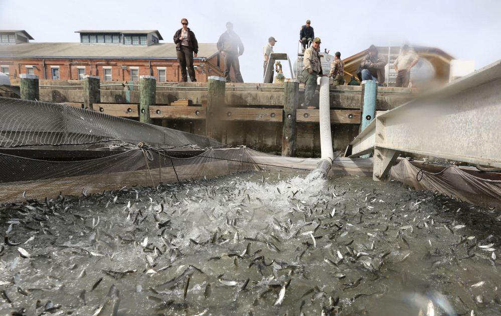 Young salmon that have been transported by tanker truck from the Coleman National Fish hatchery are released out of a pipe into a floating net suspended on a pontoon barge at Mare Island, north of San Francisco, Calif. The smolts were moved out into San Francisco Bay and released. Wildlife agencies are trucking nearly 27 million smolts because of the drought.