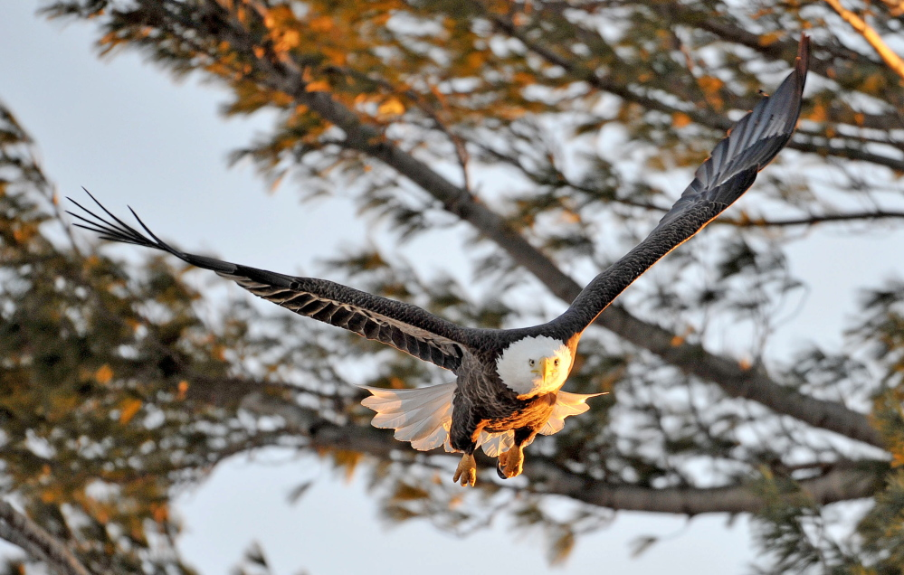 An American bald eagle takes flight from a perch along the Messalonskee Stream on Burleigh Street in Waterville. A bald eagle was hit by a school bus in New Vineyard on Tuesday and had to be euthenized because of its injuries.