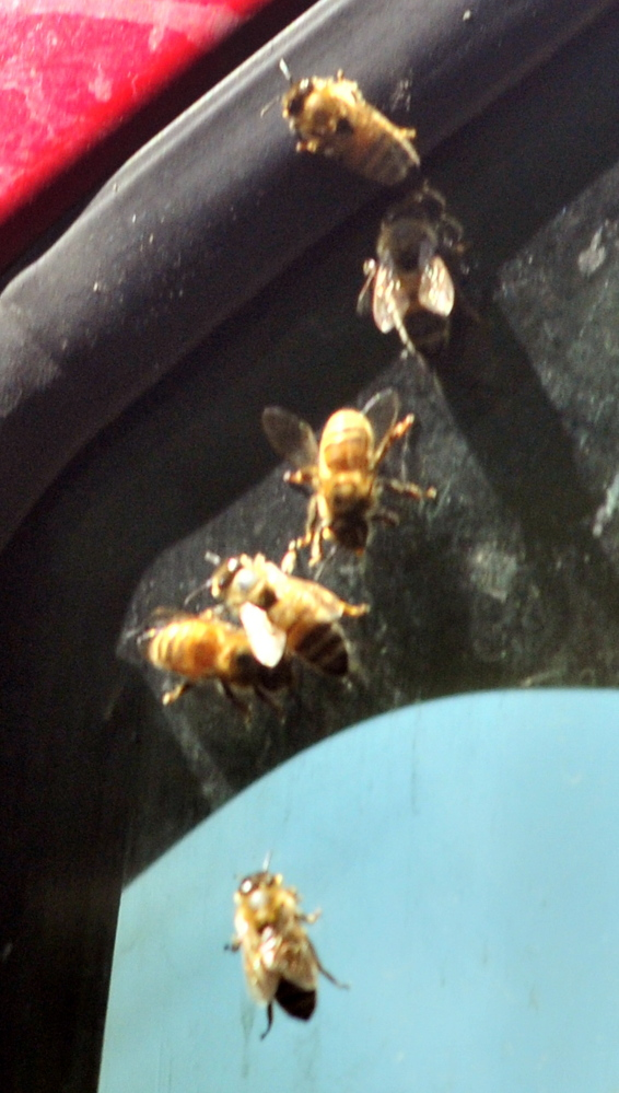 Bees crawl on a truck window on Wednesday near the Wayne fire station.