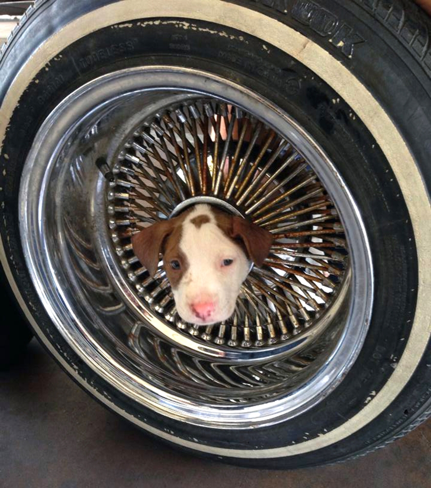This photo released by the Kern County Fire Department shows the puppy that somehow got its head stuck in the middle of a wheel and was brought to a Kern County fire station. The pooch, named Junior, has returned to live with its owner and seven siblings.
