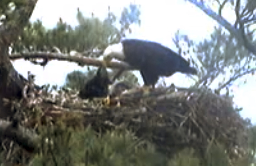 This still image from streaming online video shows an adult bald eagle feeding an eaglet Wednesday in a nest at an undisclosed location along coastal Maine.