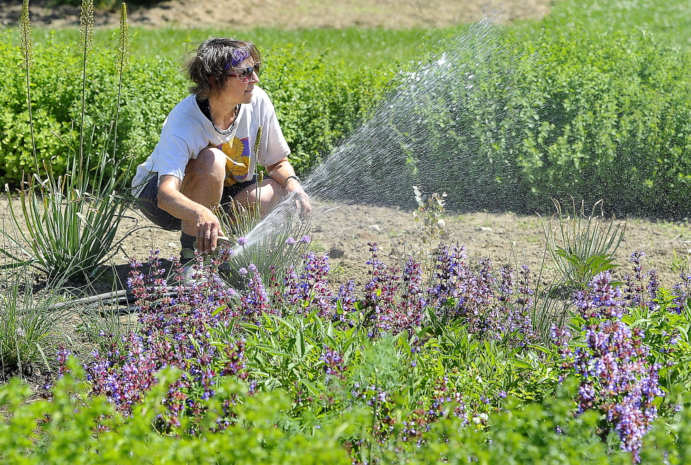 Nancy Stedman, of Little River Flower Farm in Buxton, sets up the water sprinkler over the blooming sage that will be cut and sold to Whole Foods.
