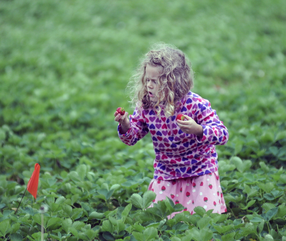 Ayla Neighbors, 5, of Andover inspects strawberries that she picked Thursday at Stevenson's Strawberries in Wayne.