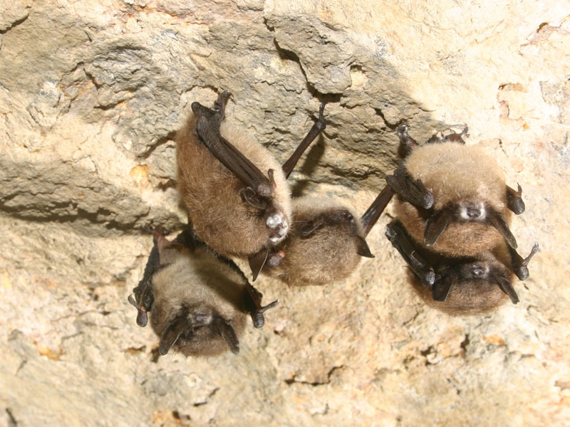 Little brown bats hibernate in a hibernation cave in New York. Most of the bats exhibit fungal growth on their muzzles.