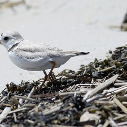 A piping plover walks along the beach in Old Orchard Beach on Friday.