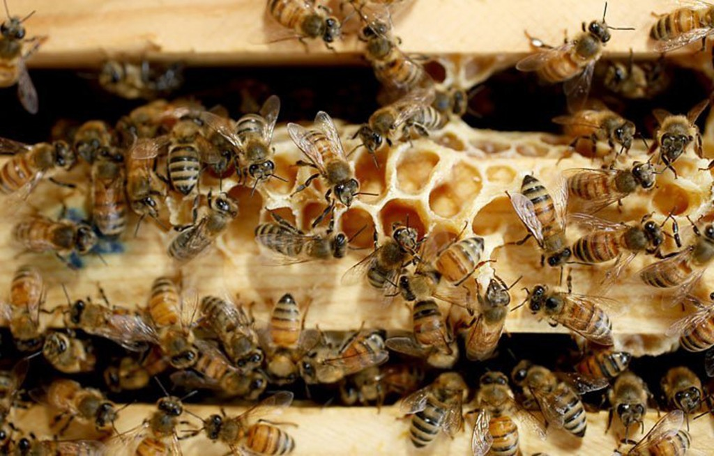 Honeybees work inside one of the hives at the Bayer facility. Corey Lowenstein/The News & Observer