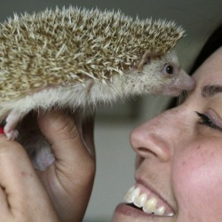 Nocturnal and living primarily on insects in the wild, hedgehogs are becoming popular as household pets. Sen. Eric Brakey wants to make it easier for Mainers to own them. The Associated Press