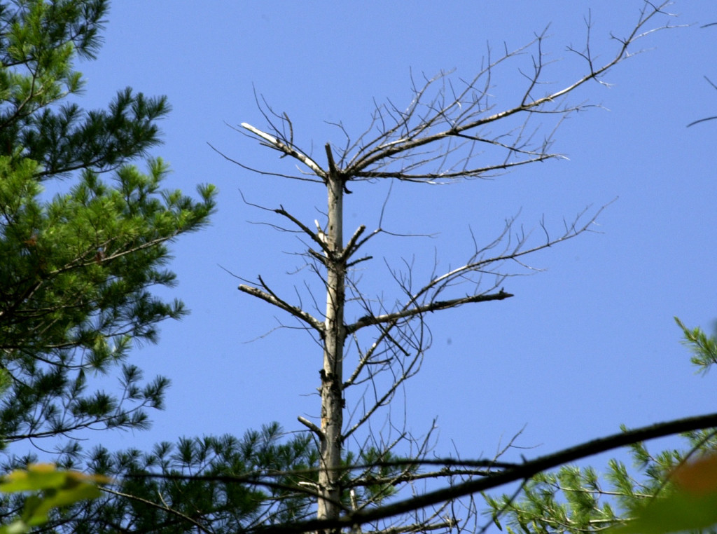A dead white pine tree is among others on a timber lot in Hollis.