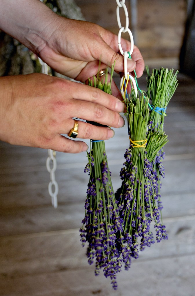 Lorie Costigan, who owns and operates Glendarragh Lavender Farm in Appleton, hangs a freshly cut bunch of lavender to dry.