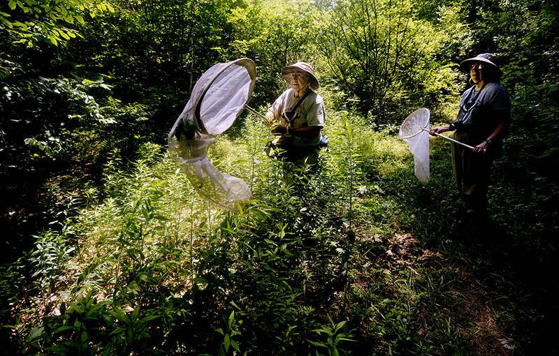Bob Gobeil uses his net to catch a butterfly as he and and his wife Rose Marie Gobeil survey butterflies along the Sylvan trail in Saco Tuesday. Shawn Patrick Ouellette/Staff Photographer