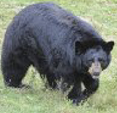 A black bear roams an enclosure at the Maine Wildlife Park in Gray in this 2012.