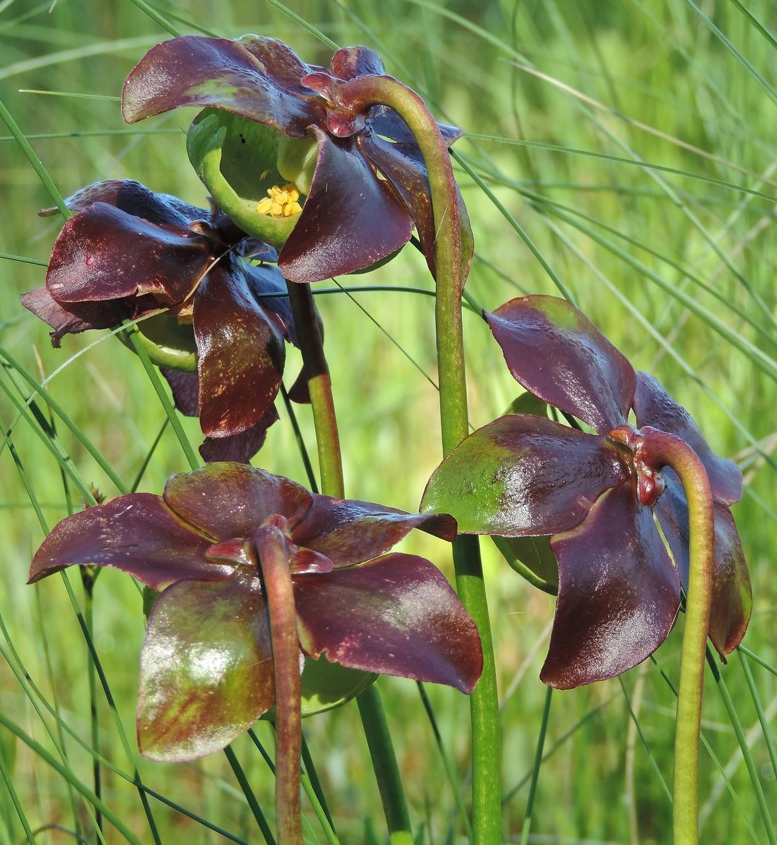 Pitcher plants are carnivorous, trapping insects in their sticky tubed leaves.