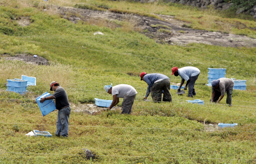 Workers rake blueberries in a Maine field.