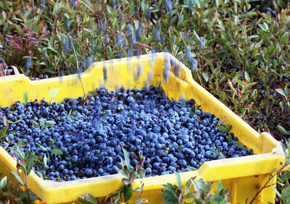 Blueberries are poured into a basket during a blueberry harvest in Washington County. A lawsuit claims that during the 2008 harvest, 18 workers were housed in pest- and insect- infested apartments and crowded into housing that forced them to sleep on the floor, or in their vehicles.