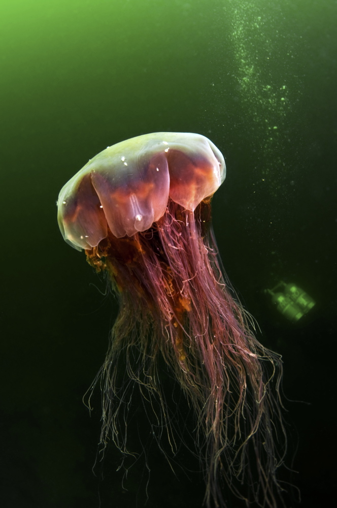 Of the three types of jellyfish typically found in Maine, only lion's mane is harmful to humans. Usually red or dark purple, the jellyfish deliver a sting that is similar to a bee sting, but lasts longer.