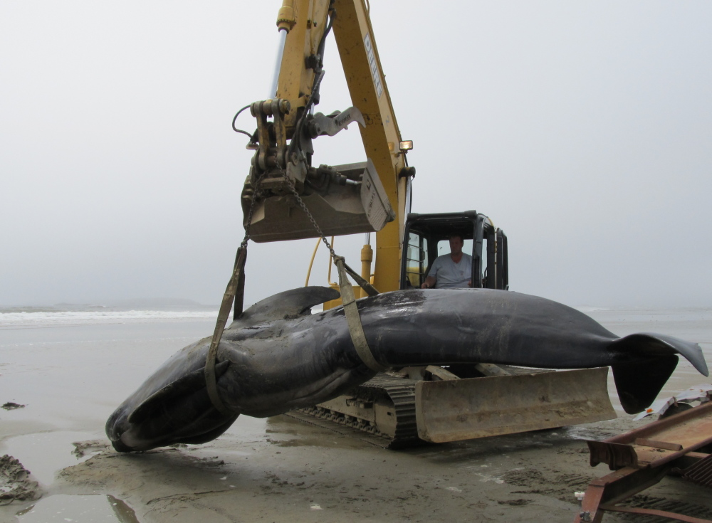 The body of this 19-foot-long pilot whale washed ashore at Popham Beach State Park, attracting hundreds of onlookers Wednesday at one of Maine's busiest summer destinations. A necropsy is planned to determine how the animal died.