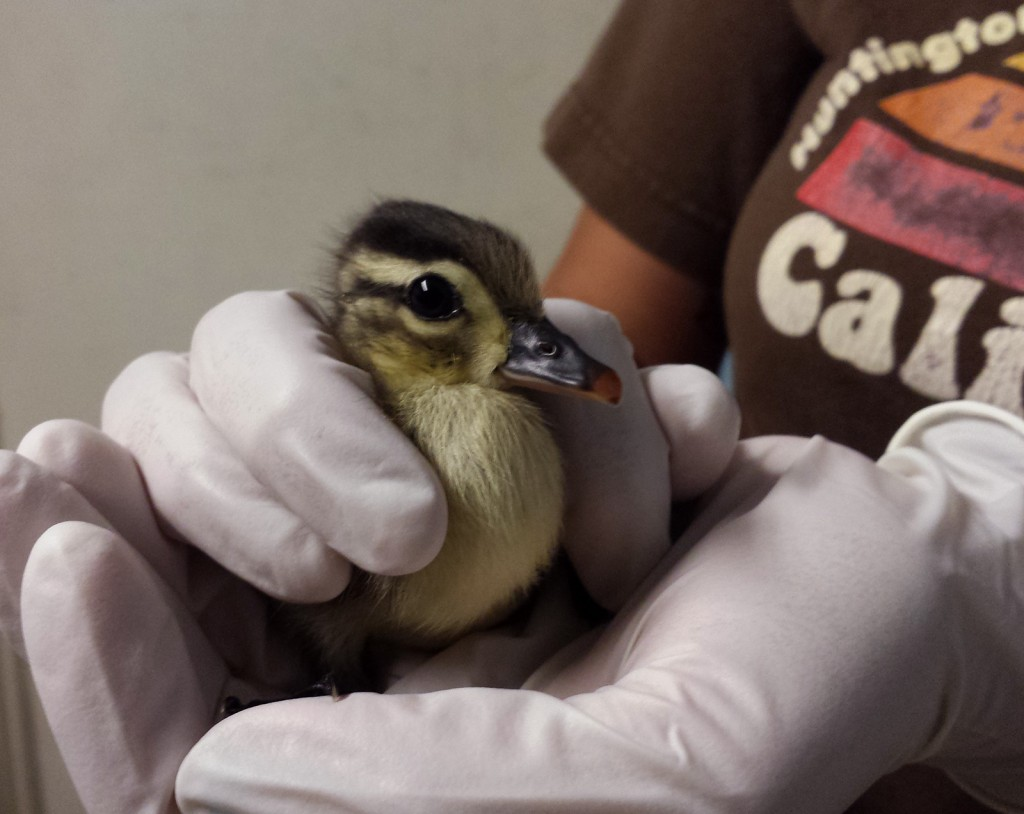 A staff member at the York Wildlife Center holds the only wood duckling that survived after its mother and siblings were hit  by a car in New Hampshire.