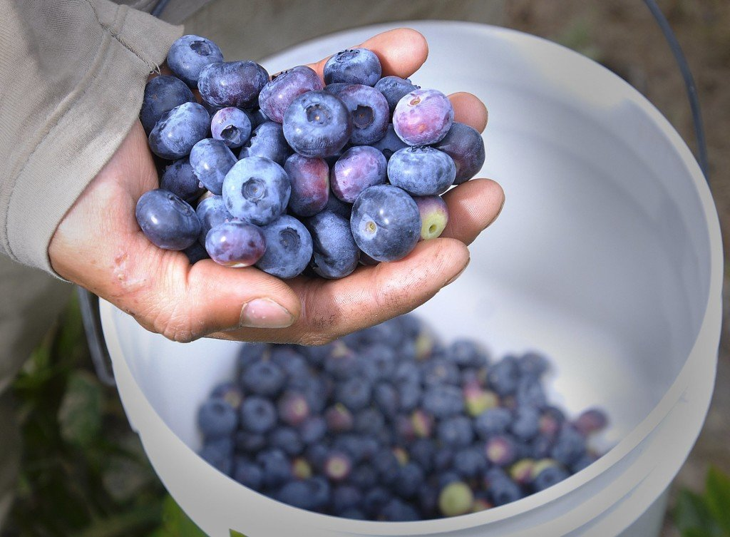 Fresh blueberries from Spiller Farm in Wells.