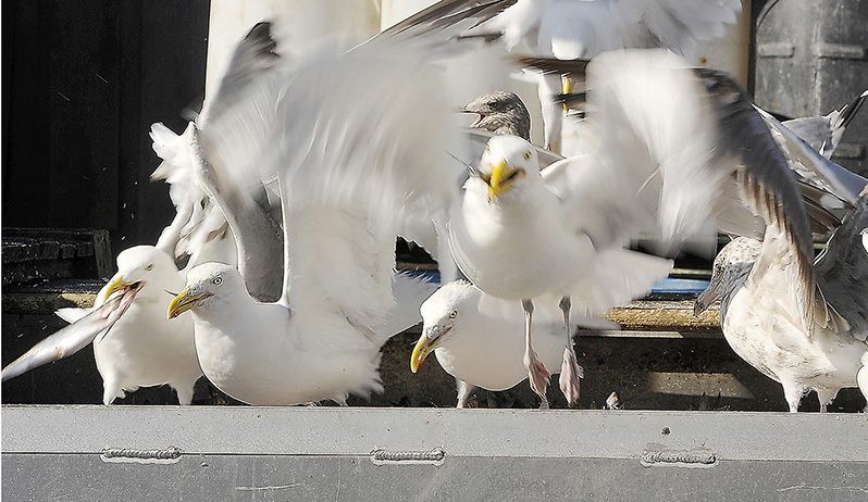 Flocks of gulls invade the bait washing machine to steal herring at the Dropping Springs Bait Company on the Portland Pier. Gordon Chibroski/Staff Photographer