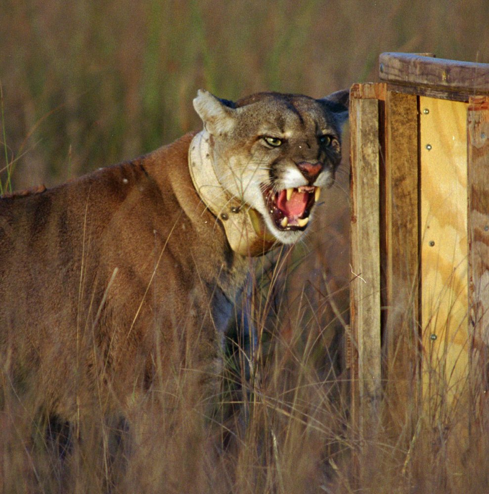 An adult male Florida panther growls as he leaves his shipping container to enter his new home at Big Cypress National Preserve, Fla., as part of a restoration project to increase their numbers.