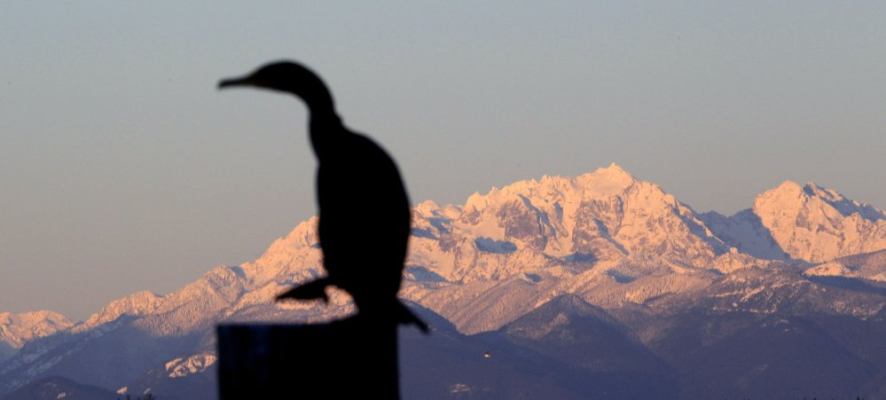 A double-crested cormorant stands on a piling. In June the U.S. Army Corps of Engineers released its plan to kill 16,000 of the birds on the Columbia River. A public comment period has been extended to Aug. 19.
