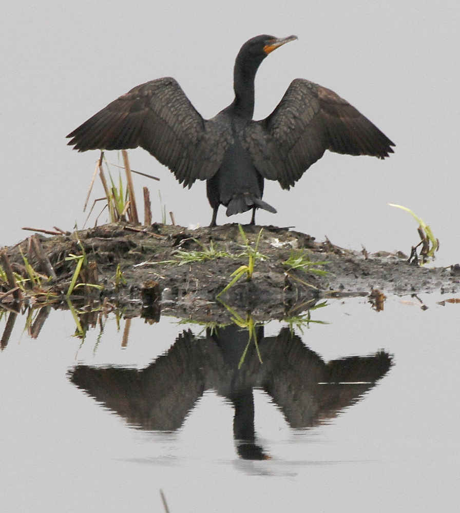 FILE - In this Tuesday, May 17, 2011, file photo, a cormorant dries its wings on  in Calais, Vt. Officials from the U.S. Fish and Wildlife Service and the states of Vermont and New York are working to reduce the population of a non-native sea bird species that has been overwhelming some Lake Champlain islands for decades. Biologists from the Vermont Fish and Wildlife Department will be working this summer to remove excessive double crested cormorants from islands in the lake as a way to protect nesting habitat for other bird species such as herons, egrets and terns.(AP Photo/Toby Talbot, File)