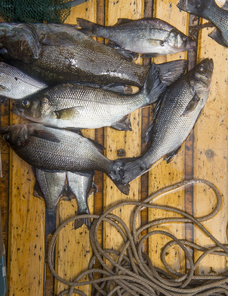 White perch and smallmouth bass caught from Baskahegan Lake in the morning are destined for an ancient but efficient skillet at lunchtime. John Ewing/Staff Photographer