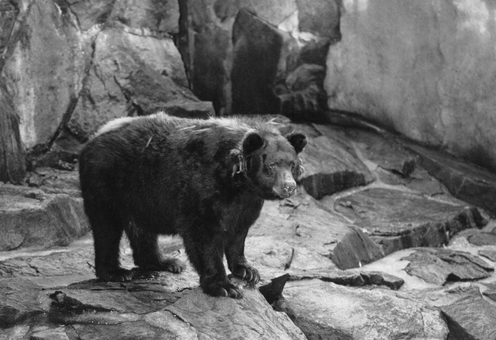 The original Smokey Bear is shown in the National Zoo in Washington, D.C. He died in 1976 and was returned to Capitan, N.M., where he was found as a cub with burned paws in 1950.