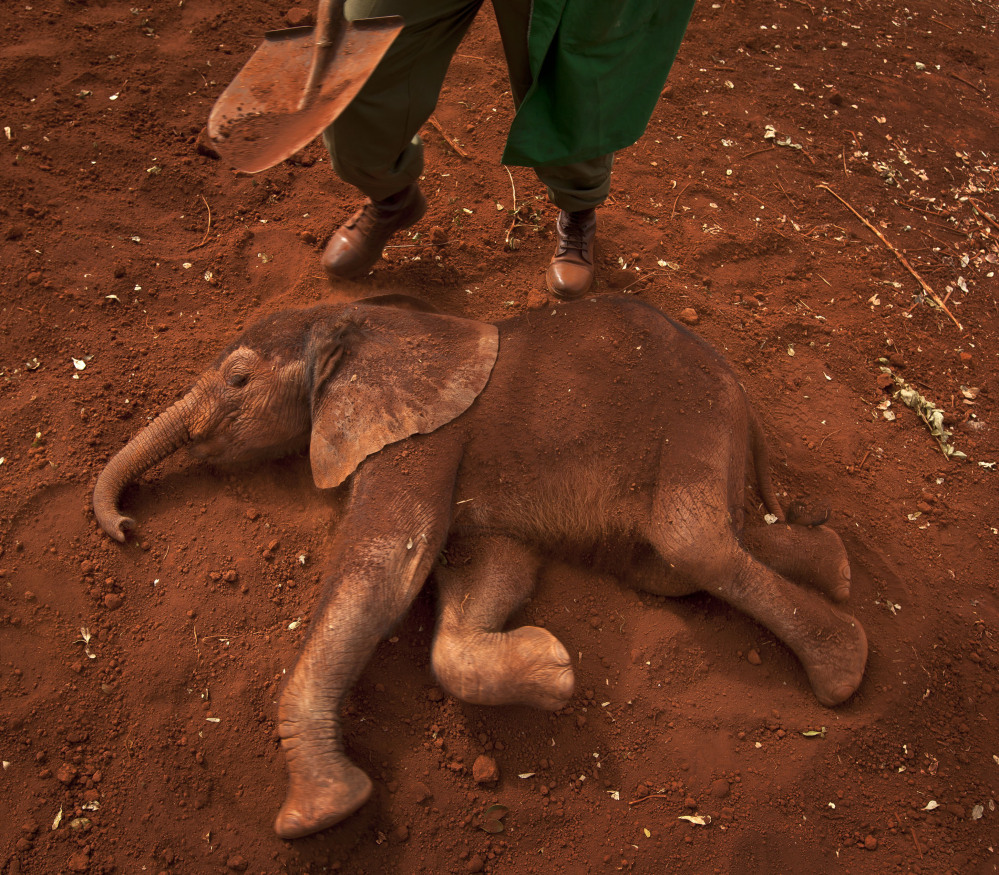 An orphaned baby elephant gets a dust bath at an elephant orphanage in Nairobi, Kenya. Researchers say increased demand for ivory has motivated poachers, and that increased killings could threaten the species.