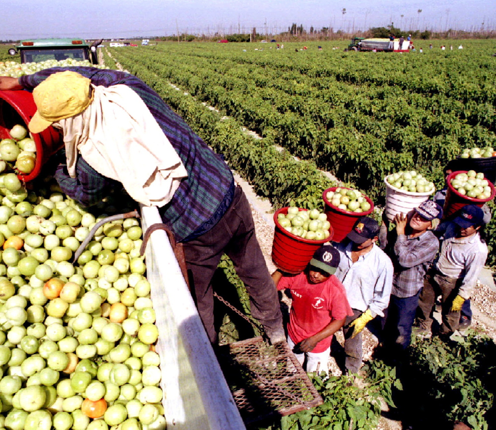 Florida's tomato yield might go unharvested if not for migrant workers at places such as Di'Mare farms in Florida City in Miami-Dade County.
