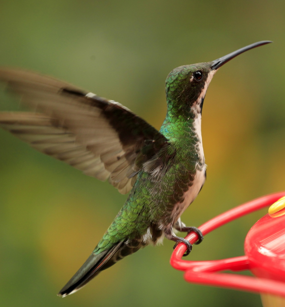 Research on hummingbirds found they much preferred nectar over simple water.