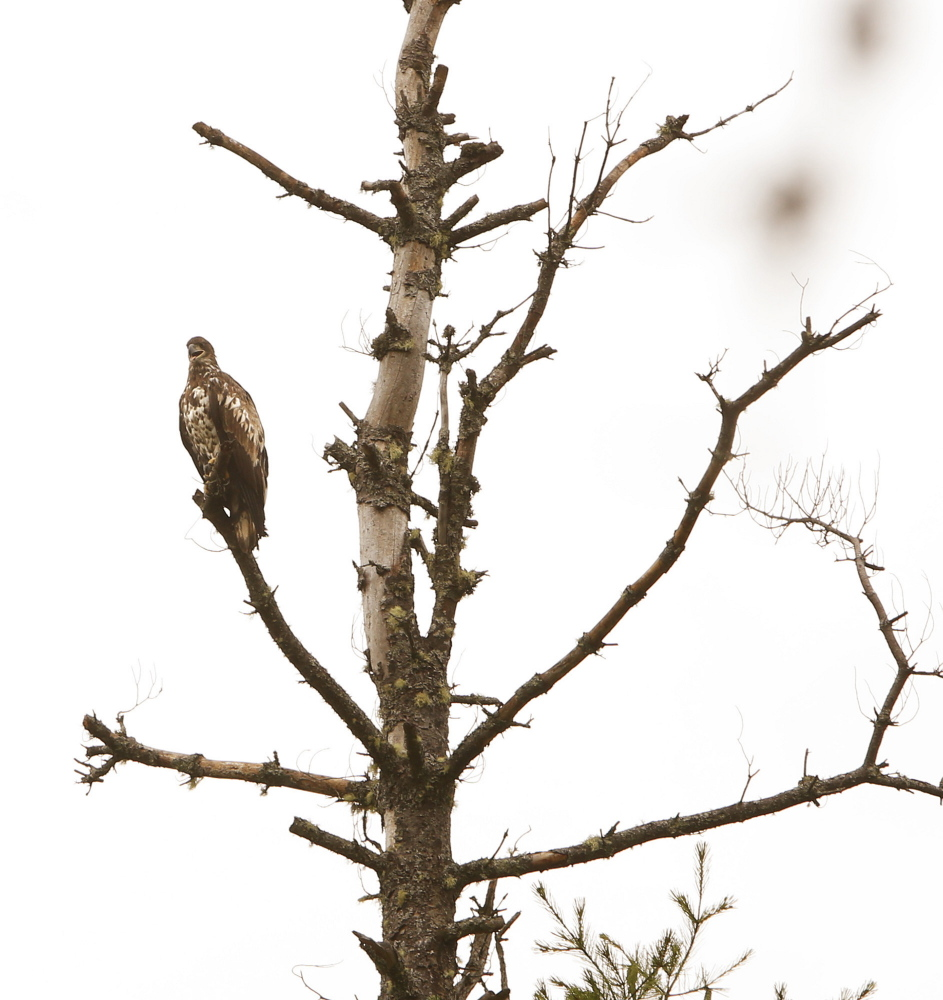 An immature eagle perches in a dead tree along the banks of the East Branch of the Penobscot River.