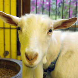 A Nigerian Dwarf goat inspects a visitor to Creeping Thyme Farm. Marie and Tim Clements, owners of the farm, are currently milking 16 Nigerian Dwarf goats every day.
